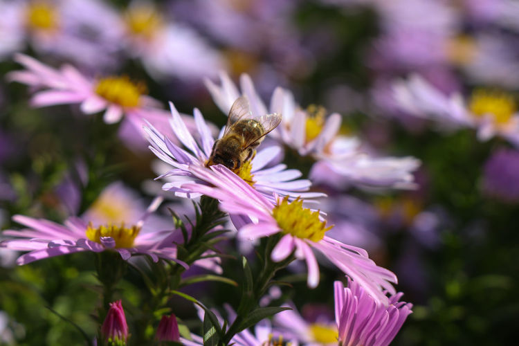 Bee on pink flowers Flowering Plant Flower Fragility Vulnerability  Beauty In Nature Petal Freshness Growth Animal Themes Plant Animals In The Wild Invertebrate Animal Insect Animal Wildlife One Animal Flower Head Bee Close-up Inflorescence Pollination Purple No People Pollen