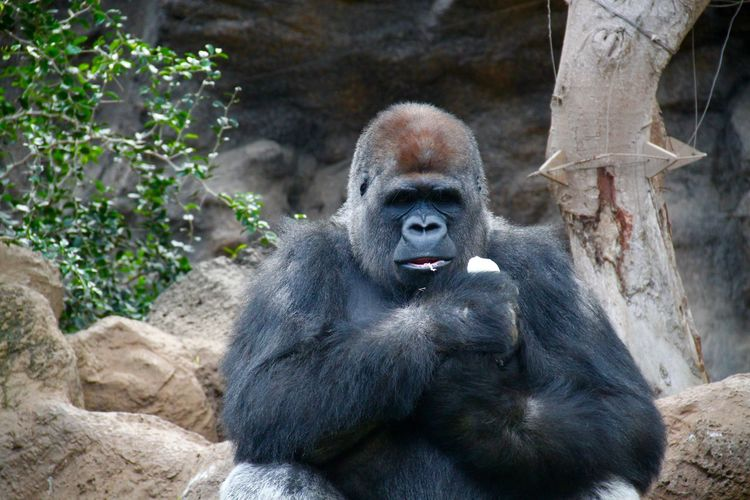 Animal Animal Themes Black Color Close-up Gorilla Loro Park Loro Parque LoroParque Mammal Monkey Nature No People Outdoors Portrait Primate Zoo