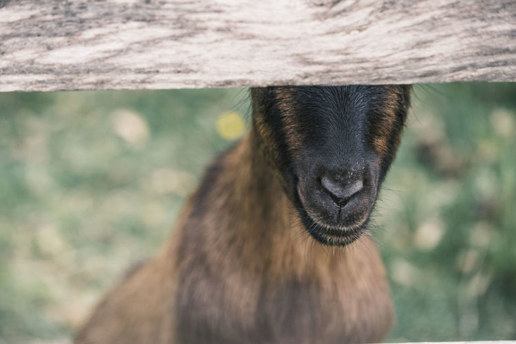 Goat hiding behind a fence