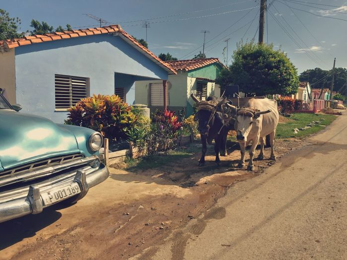 Ox cart on road by houses