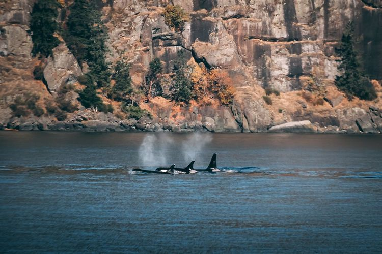Whale watching in the Salish Sea Boating Washington State Whalewatching  Marine Life Nature Pacific Northwest  Endangered Species Killer Whale Orca Orcas Island Whale Water Waterfront Nature Tree Plant Day Nautical Vessel Lifestyles Scenics - Nature Leisure Activity Outdoors