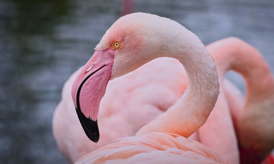Flamingo Animal Animal Body Part Animal Neck Animal Themes Animal Wildlife Animals In The Wild Beak Beauty In Nature Bird Close-up Day Flamingo Focus On Foreground Freshwater Bird Nature No People One Animal Pink Color Vertebrate Water