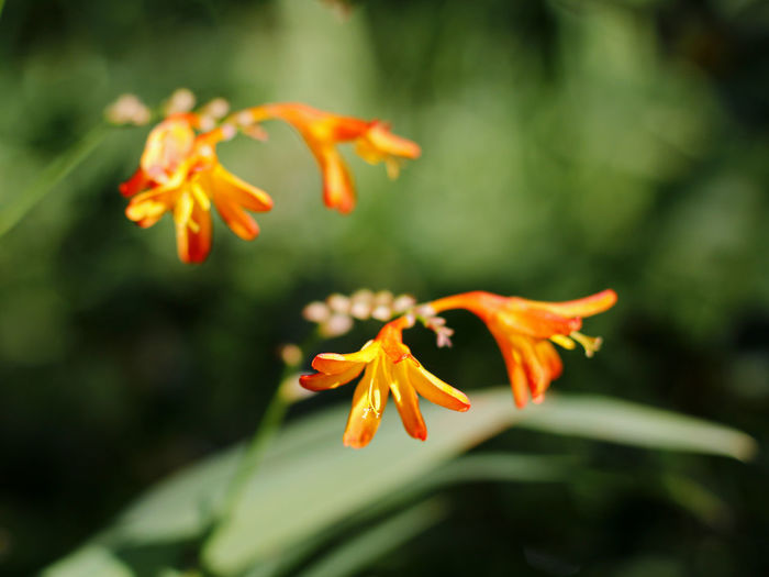 Beauty In Nature Blooming Botany Close-up Crocosmia Fine Art Flower Flowerlover Fragile Fragility Freshness Green Leaves Light And Shadow Macro Macro_collection Montbretia Orange Color Outdoors Selective Focus
