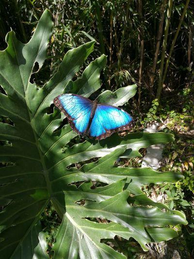 Morpho Butterfly First Eyeem Photo EyEmNewHere Nature Costa Rica