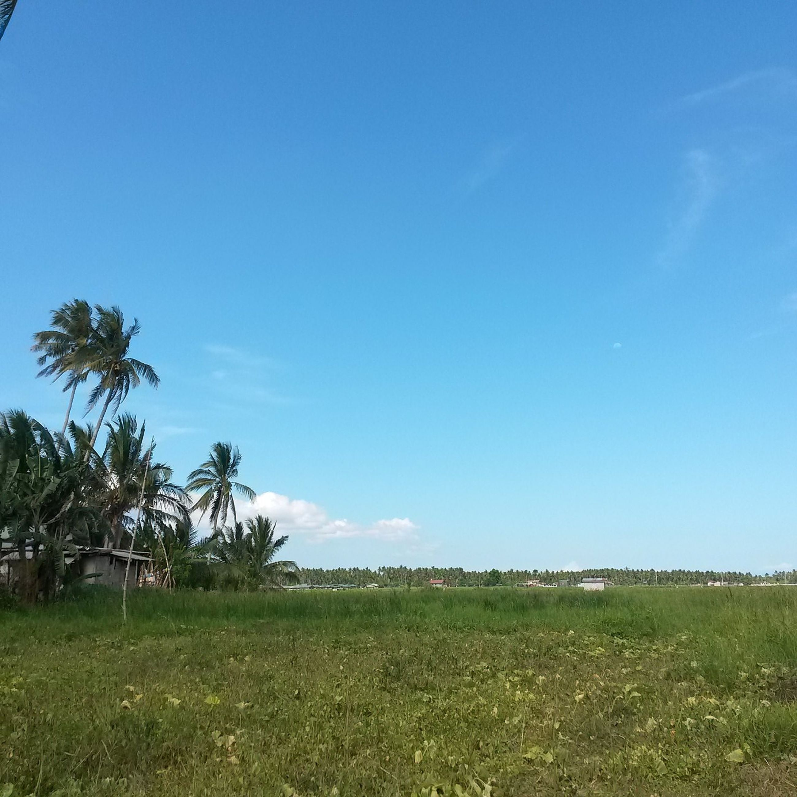 grass, blue, tranquility, tranquil scene, field, landscape, tree, clear sky, scenics, beauty in nature, copy space, sky, growth, nature, grassy, green color, horizon over land, idyllic, non-urban scene, day