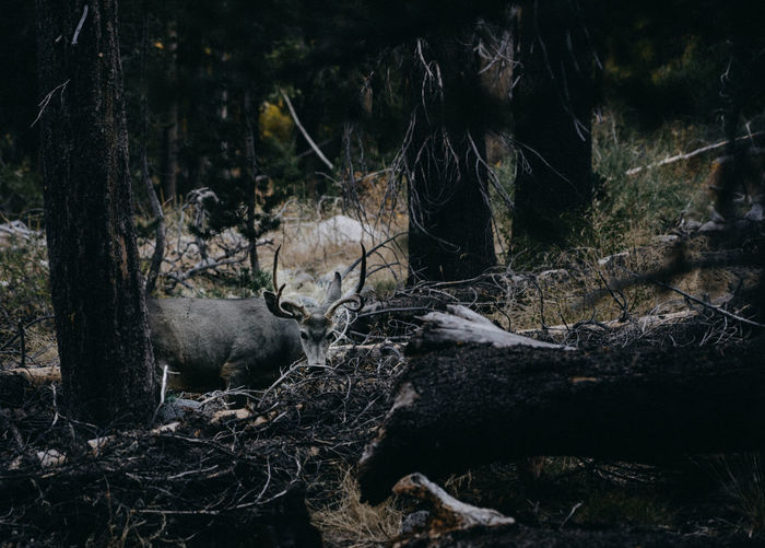 Deer Deersighting Forest Tree Plant Nature No People Tree Trunk Land Day Trunk Tranquility Wood - Material WoodLand Outdoors Fallen Tree Log Timber Falling Branch Wood Root Bark Night Animal Wild Animal John Muir Trail Pacific Crest Trail Hiking Thru Hiking