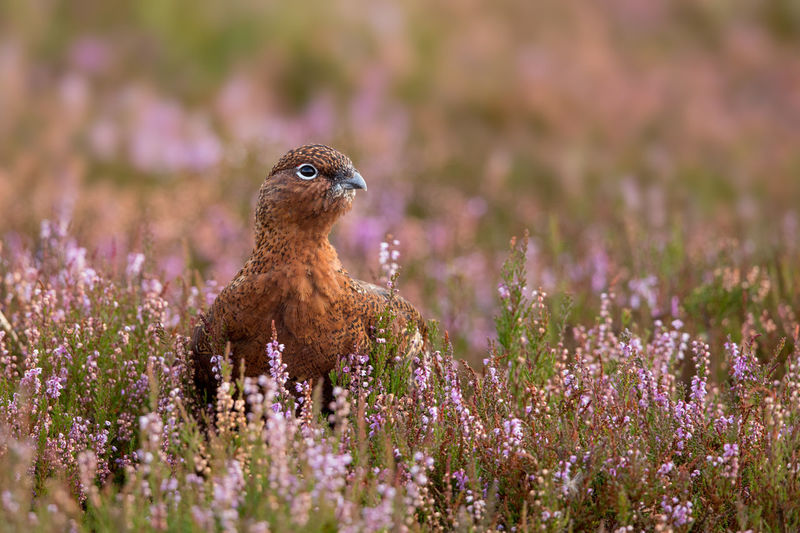 Red Grouse in autumn Red Grouse Lagopus Lagopus Scoticus Schottisches Moorschneehuhn Animal Themes Animal Wildlife Animals In The Wild Beauty In Nature Day Flower Glorious Twelfth Of July Hathersage Nature No People North Yorkshire Moors One Animal Outdoors Purple