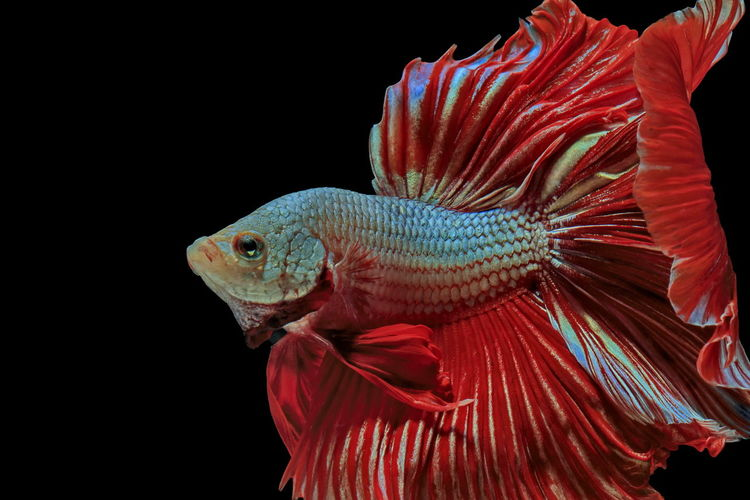 Siamese fighting fish, red fish, black background betta splendens, betta fish, halfmoon betta.