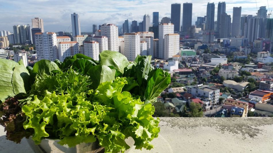 Sunbathing greens. Vegetarian Vegan Salad Greens Vegetables Buildings & Sky Lifestyle Healthy Eating Healthy Healthy Living City View  Cooking Organic Leaves Leafy Greens Leafy Good Morning Skyscrapers Skyscape Sunshine Urban Lifestyle Showcase: February From My Window From My Point Of View Leaf Vegetable Lettuce
