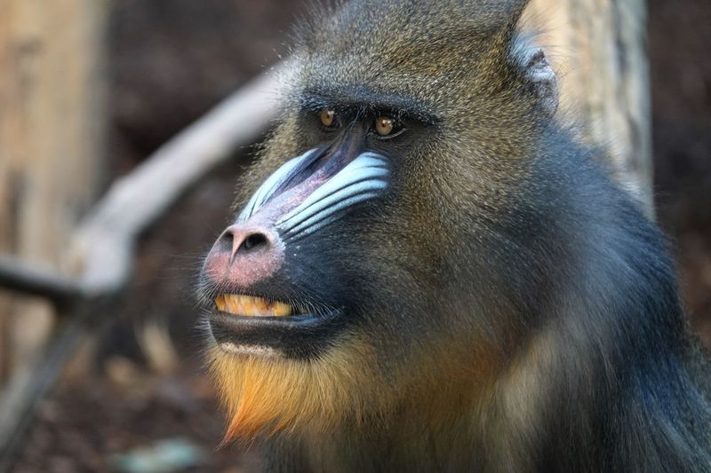 Animal Photography Animal_collection Animal Portrait Mandrill Head Mandrill Animal Head  Headshot EyeEm Selects Primate Animal Wildlife One Animal Animals In The Wild Mammal Close-up Animal Body Part Ape Baboon Vertebrate Animal Eye Focus On Foreground Animal Mouth Outdoors No People Zoo Day