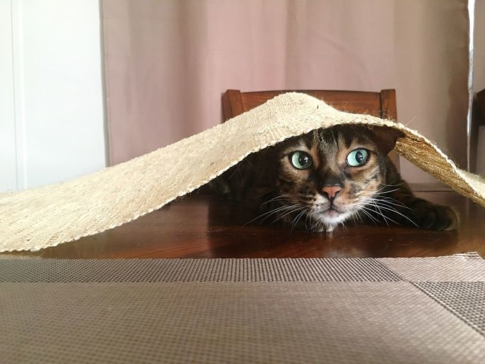 Close-up of cat peeking from under tablecloth