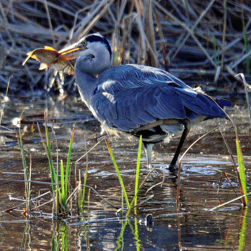 Blue heron perching on a lake