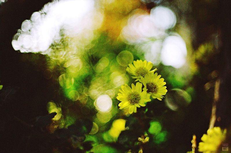 Nikon F3 AI Nikkor 50mm F2 SAMSUNG PRIME COLOR FILM 100(expired) Mylife Analog Film Flower 35mm Film Bokeh