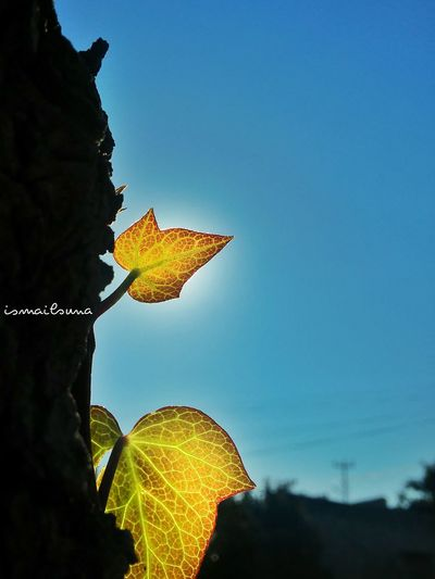 Leaf Leaf 🍂 Sheets Trees Tree Nature Sunset Sun Sky Skyporn Twig Ivy Mulberry Sapling The Human Condition First Eyeem Photo Photography EyeEm Team Mercin Yapraklar Ağaçlar ♥♡♥ Doğa Check This Out Mersin Hanging Out