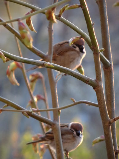 Sparrows in the