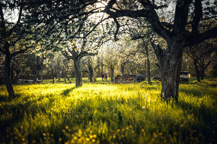 Trees and yellow flowers on field
