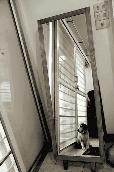 Dog Mirror Reflection Shadow Animals Feelings Thinking Moments Beagle Beaglelovers
