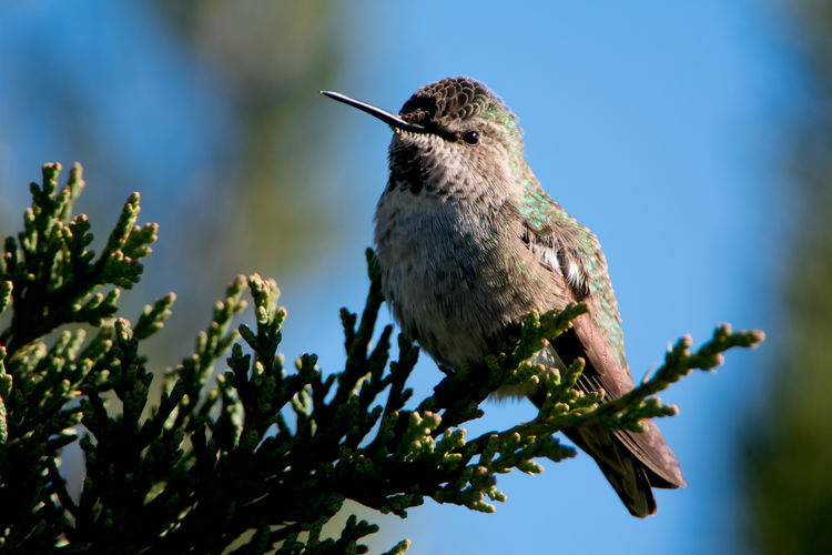 Ruby-throated hummingbird perched on a very green evergreen branch. Birds Of EyeEm  Green Green Color Animal Themes Animal Wildlife Animals In The Wild Beauty In Nature Bestoftheday Bird Blue Sky Branch Close-up Day Focus On Foreground Hummingbird Low Angle View Nature No People One Animal Outdoors Perching Ruby-throated Hummingbird Tree