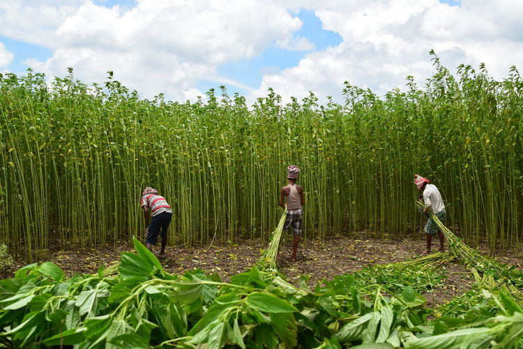 Time to reap the crops.... The Solitary Reapers....Worker are reaping Jute. Agriculture Beauty In Nature Day Field Green Green Color Growth Hidden Gems  Home Is Where The Art Is Landscape Nature Outdoors Plant Reapers Rural Scene Showcase July Sky Solitary Reapers Tranquility Colour Of Life People And Places