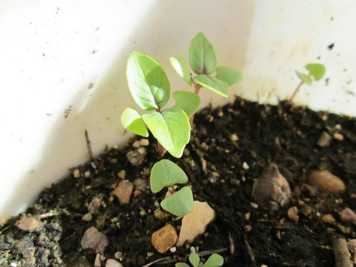 New Life Garden Photography Close-up Basil Basilica Sprouting Sprout🌱 Sprouts New Earth Freshness No People Nature Potted Plants In Sun Potted Plant