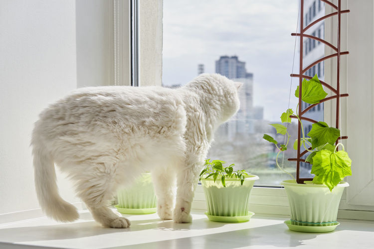 White cat on window sill at home