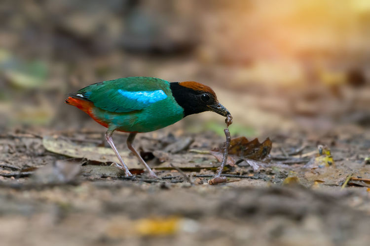 Green bird,with worm in mouth. Hooded pitta ( pitta sordida ) making a living in their habitat. Animal Bill Bird Green Color Hood Migration Mouth Pitta Sunlight Tropical Climate Worm