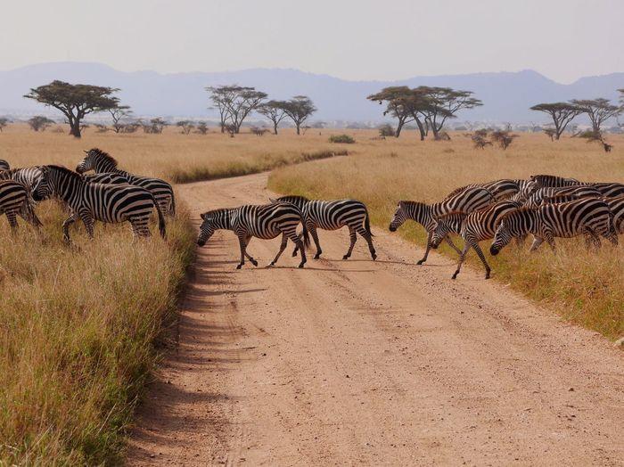 Zebra on landscape against sky
