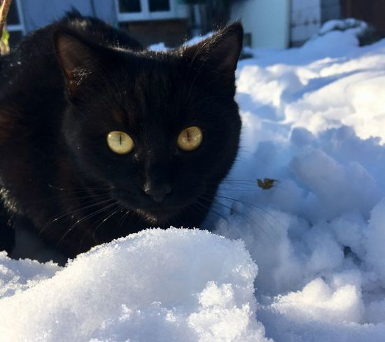 Domestic Cat Domestic Animals Mammal Pets Animal Themes Feline Whisker Snow Winter Black Color Looking At Camera Portrait Yellow Eyes No People Nature Day Close-up Outdoors EyeEmNewHere Lucifer