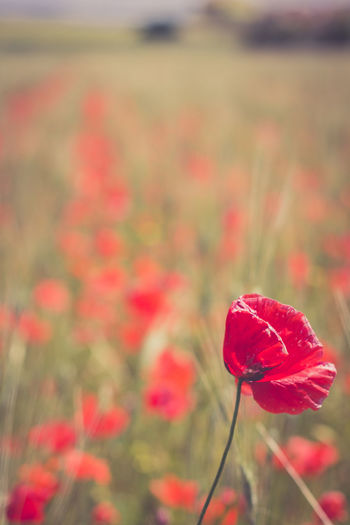 Wheat Wheat Field Poppy Flowers Nature Nature_collection Nature Photography Naturelovers Poppy Fields Red Color RedFlower Flower Head Flower Poppy Red Leaf Close-up Plant Grass