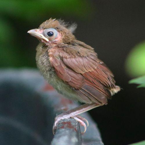 Baby cardinal. where's my tail