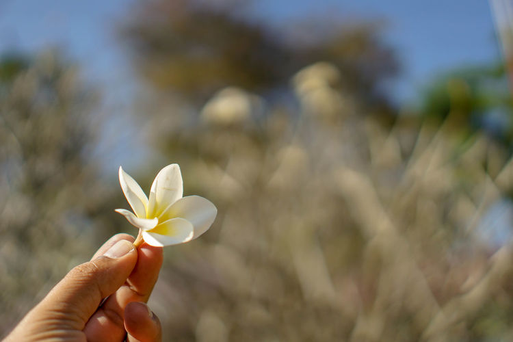 Beauty In Nature Blooming Close-up Day Flower Flower Head Focus On Foreground Fragility Frangipani Freshness Growth Holding Human Body Part Human Hand Nature One Person Outdoors People Petal Plant Real People