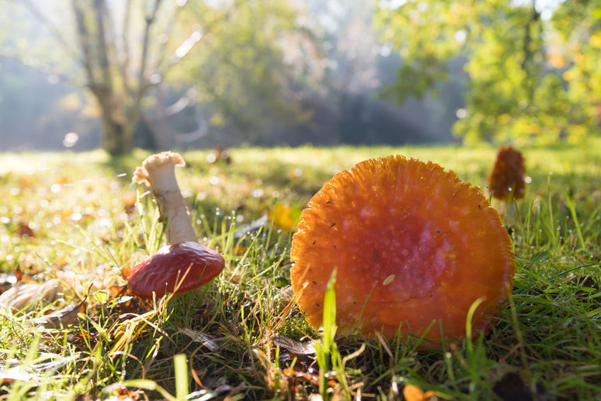 Grass Outdoors Nature Fungus Freshness Toadstool Close-up No People Mushroom Growth Autumn Day Field Beauty In Nature Poisonous, Park, Forest Vegetable Forest Tree Grass