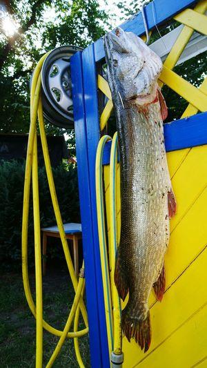 Darß Born Fishing Hecht 106cm Northern Pike Bodden Sea