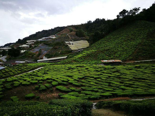 Maximum Closeness Green Color Tea Plant