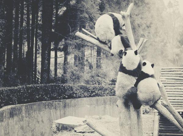 Pandas♥ Theyarepretty