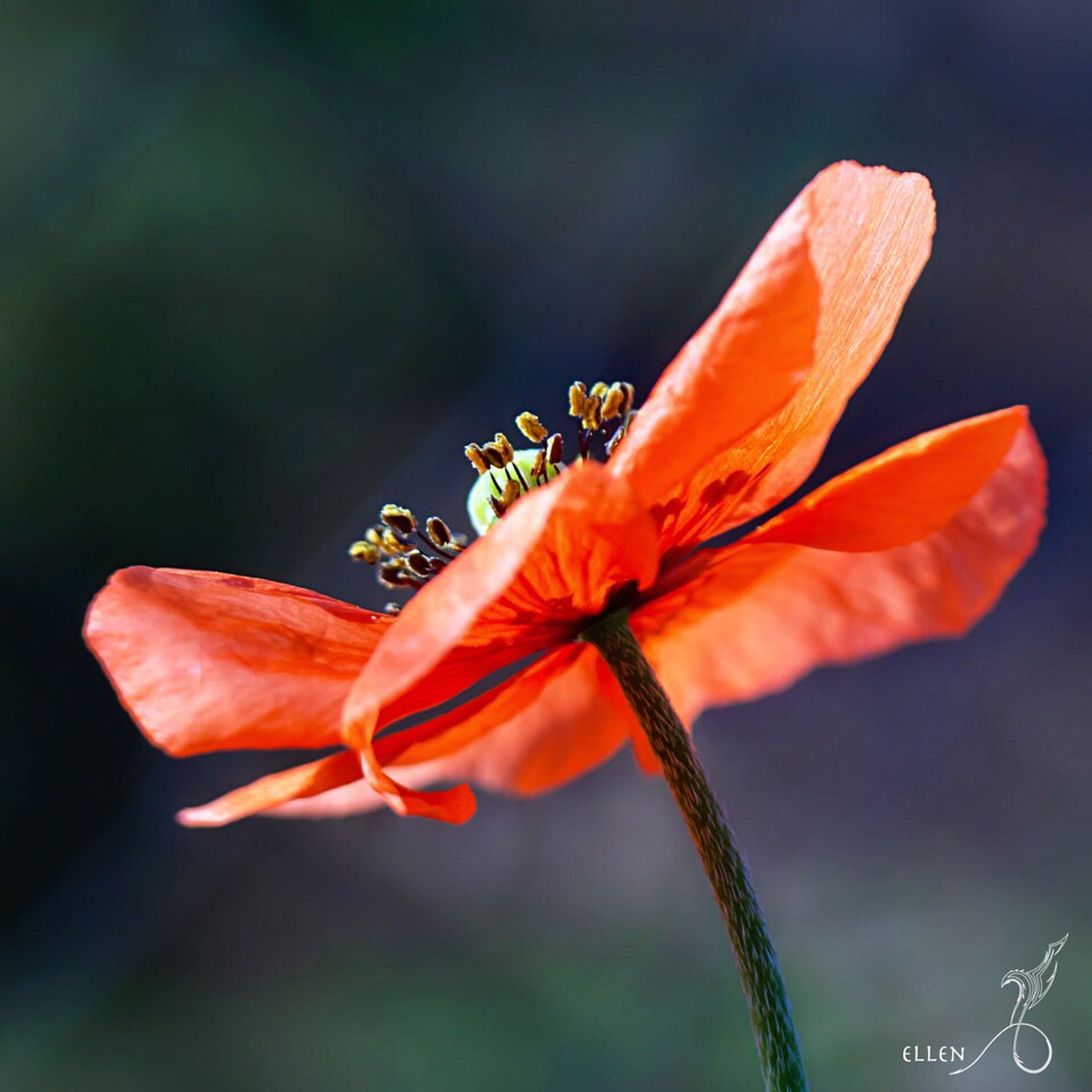 flower, fragility, petal, freshness, flower head, close-up, focus on foreground, beauty in nature, growth, nature, single flower, stamen, plant, blooming, insect, pollen, one animal, stem, animal themes, wildlife