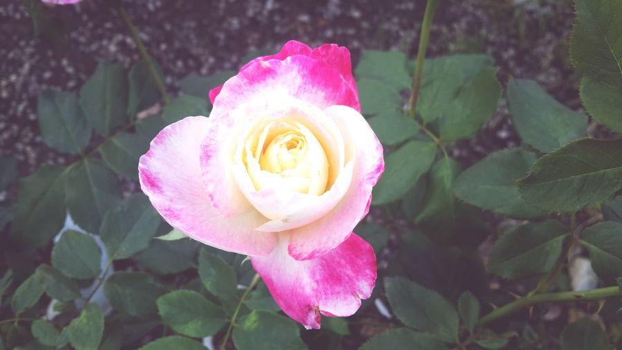 ดอกกุหลาบ Flower Flower Head Fragility Nature Plant Petal Freshness Pink Color Growth Beauty In Nature Leaf Close-up Outdoors No People Day Crocus