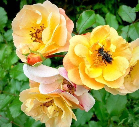 Leaf Cutter Bee Backyard Garden Iphonephotography Pollinators Beauty In Nature Vulnerability  Fragility