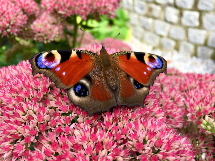Close-up of butterfly perching on pink flower