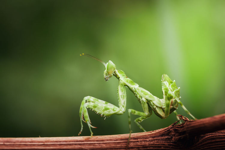 Side view of green mantis on twig isolated on nature background