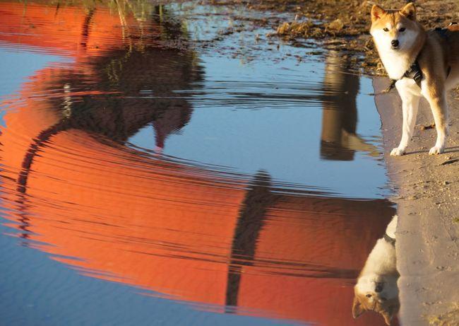 Shiba Inu YUMImaus Animal Animal Themes Dog Domestic Animals One Animal Pets Reflection Water