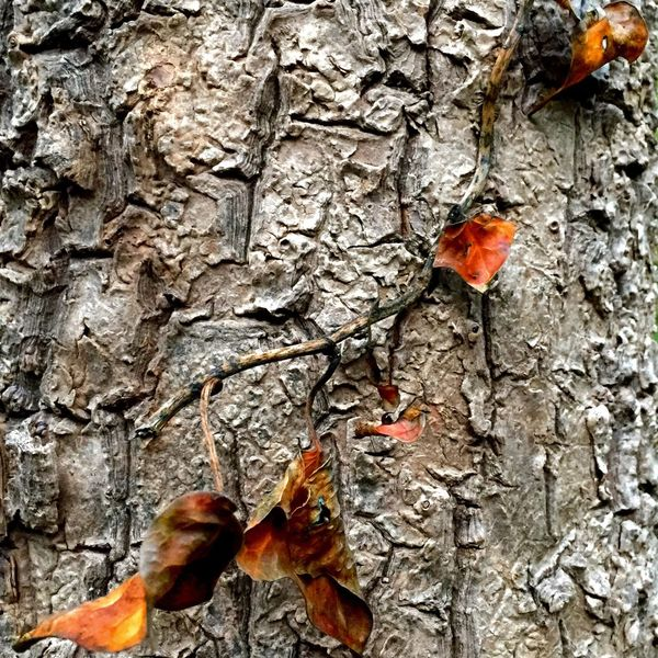 Project 365 Tree Bark Autumn Leaves IPhoneography taken with iPhone 6 using Camera+ , IPad Edit using Filterstorm Neue