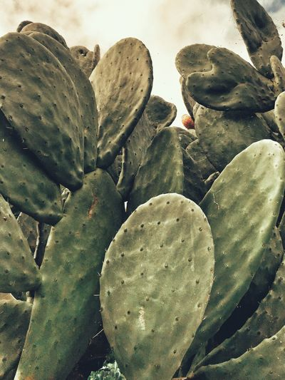 Madrigal De La Vera SPAIN Chumbera Plant Succulent Plant Growth Cactus No People Nature Beauty In Nature Full Frame High Angle View Close-up Green Color Outdoors