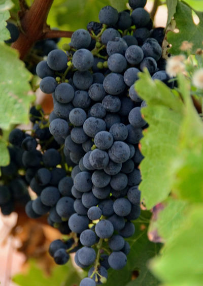 Grapes for the Bottle Grape Vineyard Bunch Winemaking Fruit Red Grape Grapes 🍇 Grapes Nature Photography Winery Grapevines  Vine Nature Freshness rClose-up Agriculture Abundance Beauty In Nature Green Color