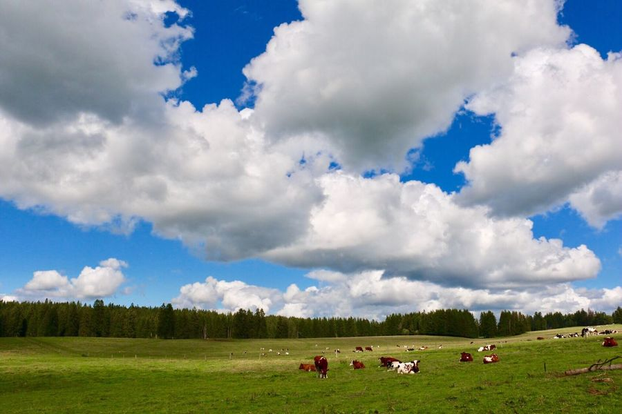 Cloud - Sky Sky Animal Themes Domestic Animals Cow Landscape Beauty In Nature Tranquil Scene Grass