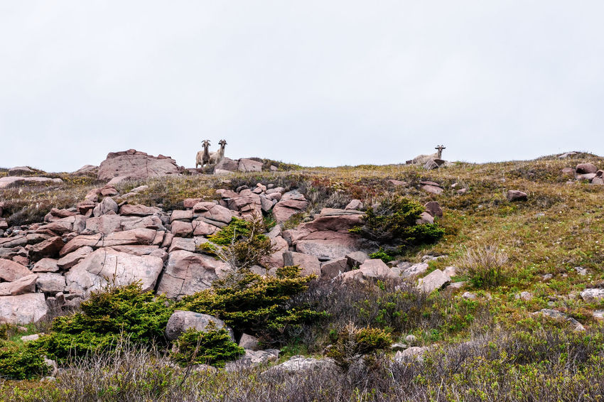 3 mountain goats looking over the horizon in Cape St. Lawrence, Nova Scotia, Canada. Goats Mountain Goat Nova Scotia, Canada Beauty In Nature Clear Sky Day Environment Grass Land Landscape Mountain Nature No People Non-urban Scene Outdoors Plant Rock Rock - Object Rock Formation Scenics - Nature Sky Solid Tranquil Scene Tranquility