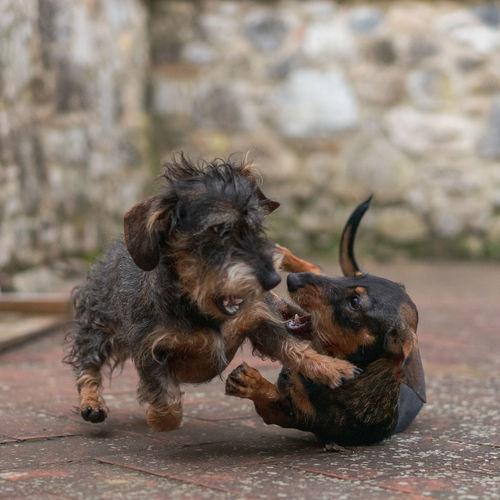 Canine Dog