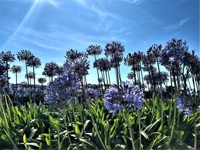 Clumps of tall blue spiky flower heads against a blue sky with light cloud and chem-trails. Plant Flower Flowering Plant Growth Beauty In Nature Sky Freshness Fragility Vulnerability  Nature Field No People Day Tranquility Land Sunlight Cloud - Sky Flower Head Close-up Tranquil Scene Purple Outdoors Spiked Blue Blue Sky
