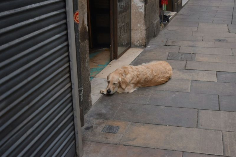 Sleeping Dog Diagonal Perspective Diagonal Lines Streetphotography Barcelona SPAIN Showing Imperfection Nature's Diversities Pet Portraits