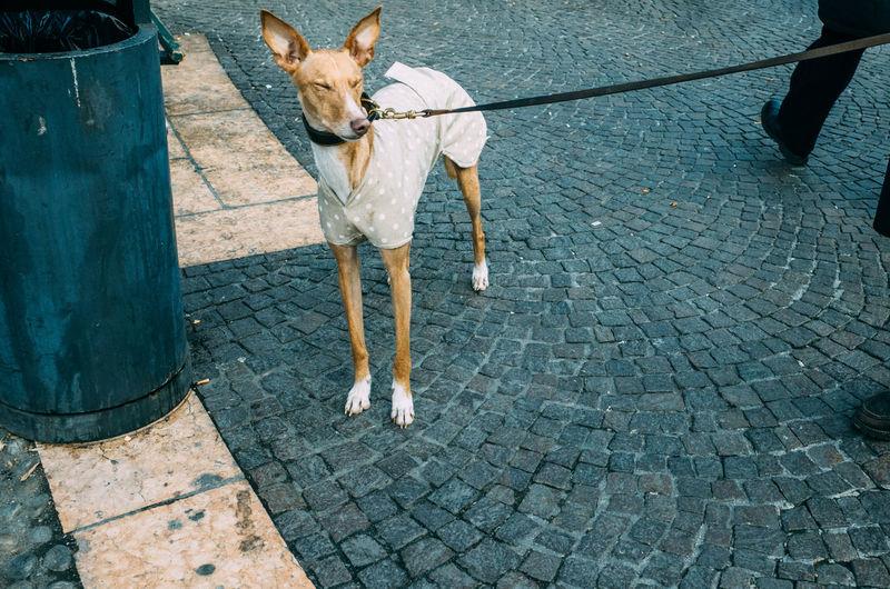 High Angle View Of Dog Standing On Street
